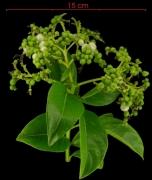 Tournefortia bicolor fruit plant