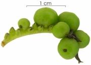 Tournefortia bicolor immature-Infructescences