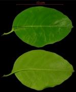 Tournefortia bicolor leaf