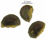Tournefortia bicolor seed-wet