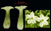 Tournefortia cuspidata flower
