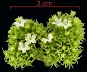 Tournefortia cuspidata Inflorescence