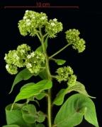 Tournefortia cuspidata flower plant