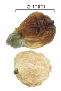 Tournefortia cuspidata fruit-dry