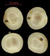 Tournefortia cuspidata fruit