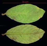 Tournefortia cuspidata leaf