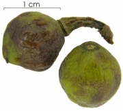 Trattinnickia aspera fruit