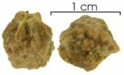 Trattinnickia aspera seed-wet