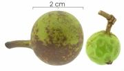 Unonopsis pittieri immature-fruit