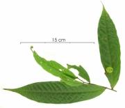 Unonopsis pittieri immature-fruit plant