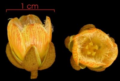Vismia baccifera flower