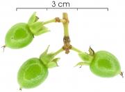 Vismia billbergiana immature-Infructescences