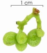 Zanthoxylum panamense immature-fruit