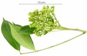 Zanthoxylum panamense immature-fruit plant