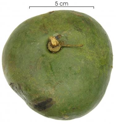 Omphalea diandra fruit