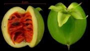 Stemmadenia grandiflora fruit