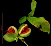 Stemmadenia grandiflora fruit plant