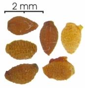 Tetrathylacium johansenii seed-wet