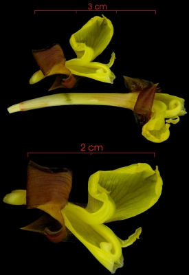 Calathea lutea flower