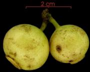 Siparuna pauciflora immature-Infructescences