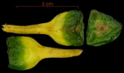 Heliconia vaginalis immature-fruit