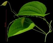 Dioscorea urophylla flower plant