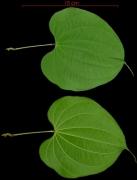 Dioscorea urophylla leaf