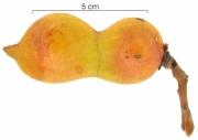 Ormosia coccinea  immature-fruit