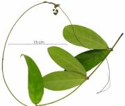 Prestonia portobellensis plant
