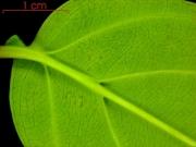 Anaxagorea panamensis leaf base