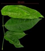 Gnetum leyboldii leaf