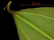 Smilax spissa leaf base