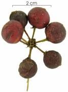Smilax spissa Mature Fruit clus