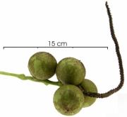 Acrocomia aculeata Immature Fruit clus