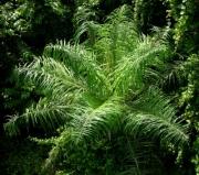 Acrocomia aculeata plant