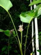 Calathea latifolia flower plant