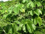 Cecropia obtusifolia Immature Fruit plant