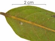 Diospyros artanthifolia leaf base