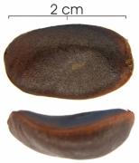 Diospyros artanthifolia seed wet