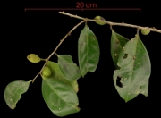 Drypetes standleyi Immature Fruit plant