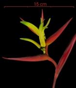 Heliconia vaginalis flower clust