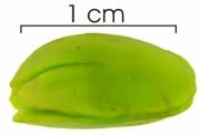 Inga umbellifera seed wet