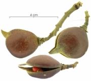 Ormosia coccinea  Mature Fruit
