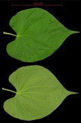 Piper marginatum leaf