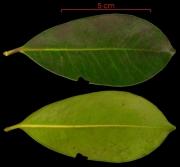 Ternstroemia tepezapote leaf