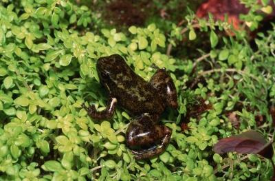 Hyloxalus chocoensis frog