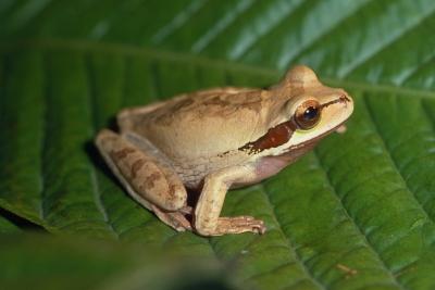 Smilisca phaeota frog