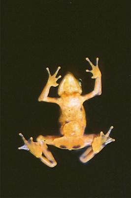 Male Harlequin Frog (Atelopus varius)