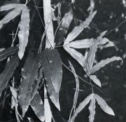 Lygodium radiatum (Lygodium radiatum)