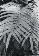 Metaxya rostrata (Metaxya rostrata)
